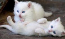 Türkiye'de En Yaygın 10 Kedi Türü Nedir?